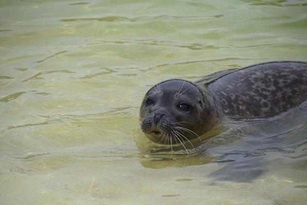 Nordsee Urlaub Seehund Snorre Seehundstation Friedrichskoog Dithmarschen Schleswig-Holstein Deutschland