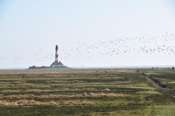 Nordsee Urlaub Vogelschwarm Ringelgänse Leuchtturm Westehever Westerheversand Nordfriesland Schleswig-Holstein Deutschland