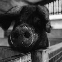5 Dinge, die du über den modernen Menschen begreifst, nachdem du George Orwells 'Animal Farm' gelesen hast