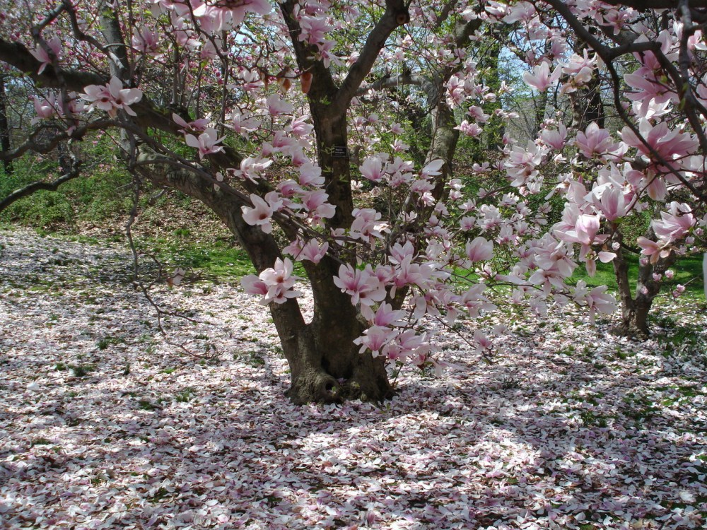 medium resolution of magnolias at the brooklyn botanic garden
