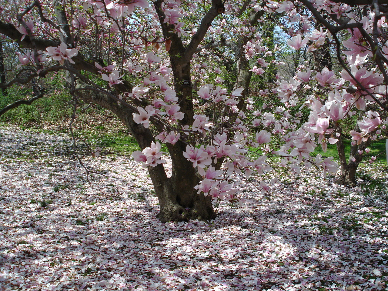 hight resolution of magnolias at the brooklyn botanic garden