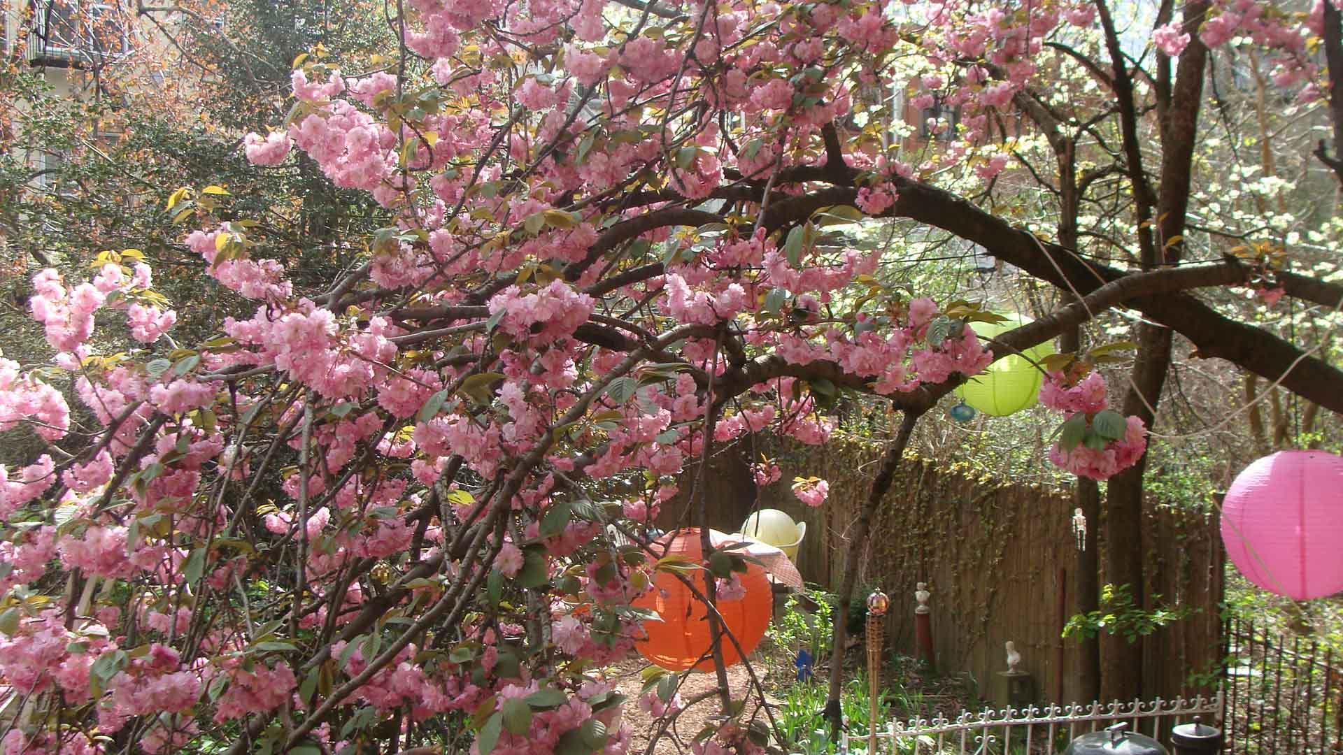 Free Fall Mums Wallpaper Blossoms Ferrebeekeeper