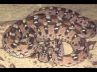 Echis ocellatus | ferrebeekeeper