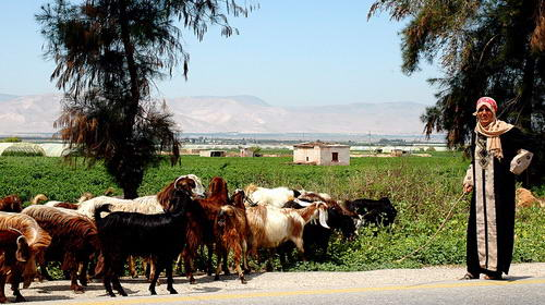 Caring for Goats in the Jordan Valley, the area of Perea in New Testament times. Photo by Ferrell Jenkins.