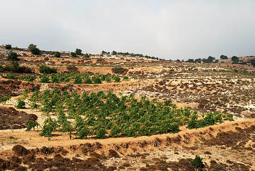 Terraces in the hill country of Judea near Bethlehem. Photo by F. Jenkins.