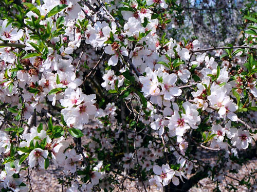 Almond blossoms in the West Bank. Photo by Ferrell Jenkins.