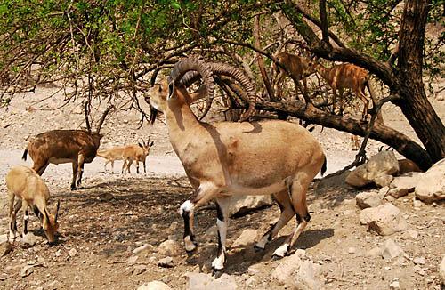 Ibex at En Gedi near the Dead Sea. Photo by Ferrell Jenkins.