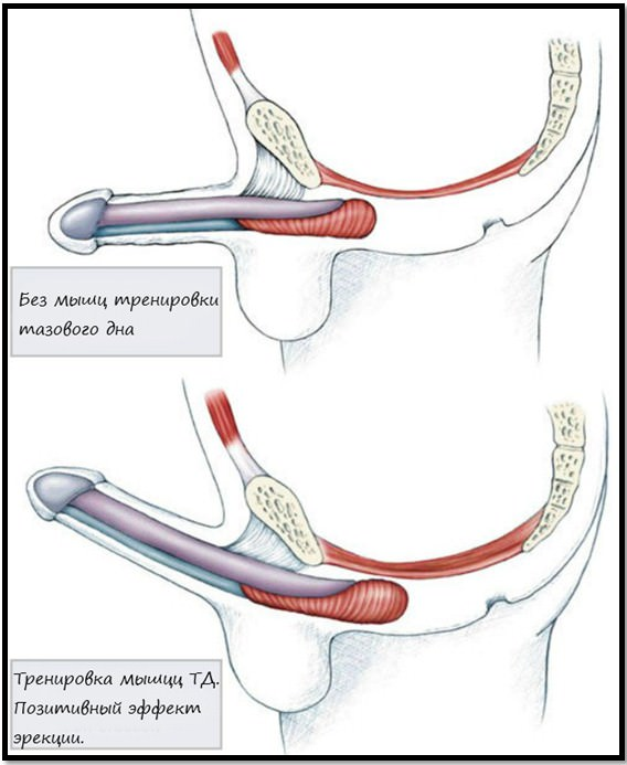 erekció és kegel-gyakorlat