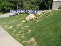 Lawn Disease: Necrotic Ring Spot