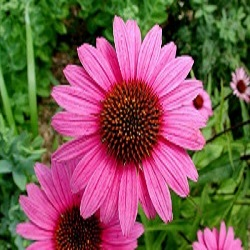 echinacea and infection