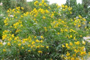 Gewürzstrauch, Gewürzrinde, Kerzenstrauch (Cassia corymbosa)
