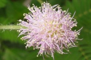 Mimosa pudica Blüte