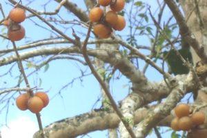 Seifenbaum (Sapindus saponaria), Fruchtbehang