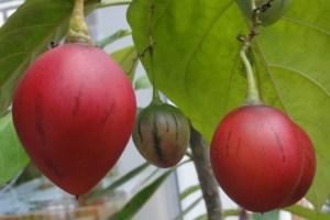 Tropische Baumtomate, reifende Tamarillos, Früchte des Tropischen Tomatenbaums