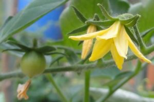 Solanum lycopersicum (Lycopersicon esculenta), Blüte