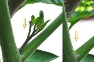 Solanum lycopersicum (Lycopersicon esculenta), Geiztrieb