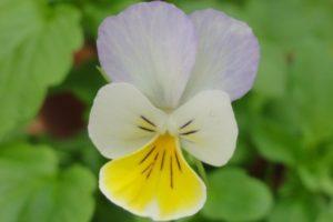 Viola tricolor Blüte
