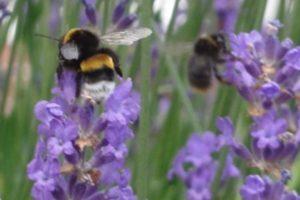 Echter Lavendel, Lavandula angustifolia, mit Hummel