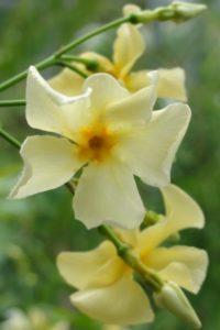Gelber Sternjasmin, Trachelospermum asiaticum, Japanischer Sternjasmin