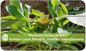 Musella lasiocarpa, Golden Lotus banane, Yunnan Zwergbanane