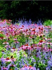 Otherwise known as 'echinacea purpurea'