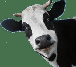 vache-festival-malguenac