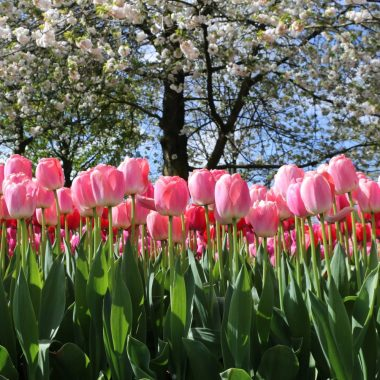 pers festival des tulipes Hollande