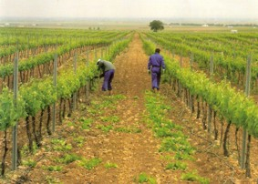 Delgado Brothers organic vineyard, Spain