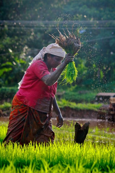 A woman harvesting rice.