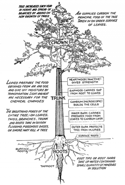 tree trunk branch diagram