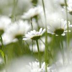 kwiat10