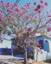ipe-rosa