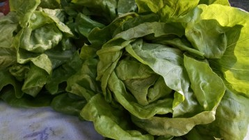 lettuce from Eco Farm