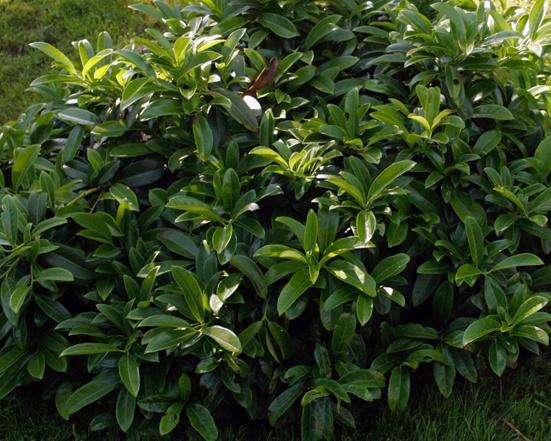 6 beliebte immergrne Pflanzen fr den Garten