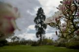 Entre les magnolias, le Sequoia Geant plante en 187