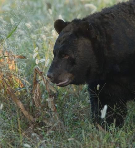photograph black bears at