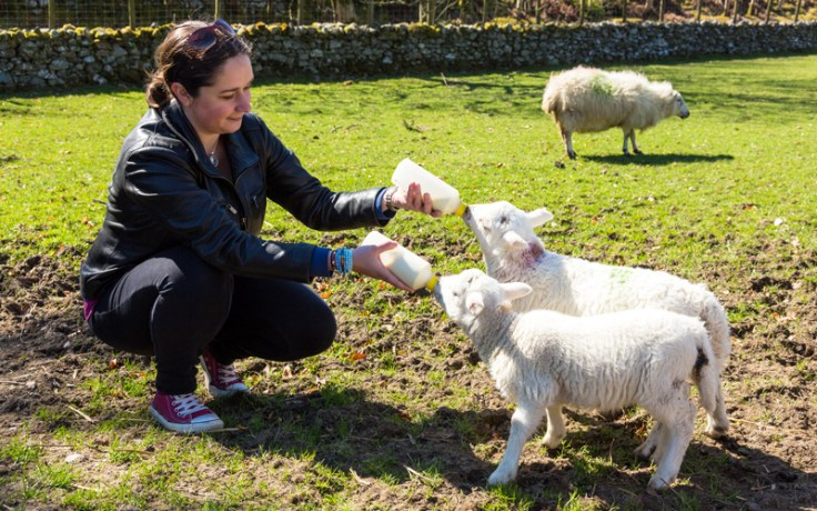 Lambs in wales being fed. lamb is a traditional element of Welsh food.