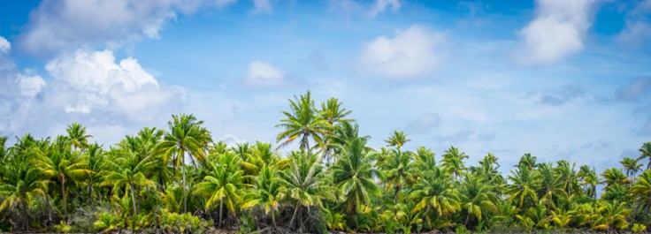 coconut palm trees, mentioned many times in moana.