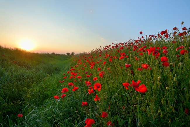Poppies represent WW1 Remembrance Day (or Poppy Day) on 11 November each year.