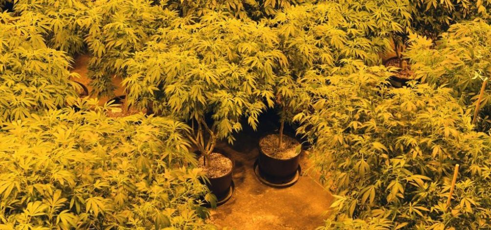 A top-down view of the North Coast Growers cannabis canopy in their Anacortes, Washington grow facility.
