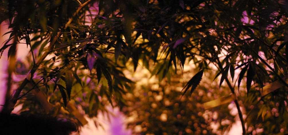Indoor cannabis plants inside of a cultivation site licensed under Washington state's I-502 adult-use cannabis marketplace.