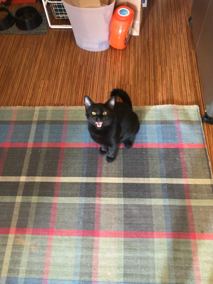Photo of a black cat sitting on a rug meowing.