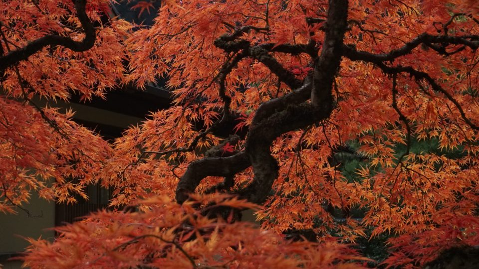 Photo of a Japanese Maple at the Portland Japanese Garden.