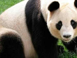 ما هو الطعام الذي يأكله الباندا العملاق بشكل رئيسي