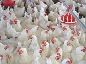 كيفية انشاء مزرعة دجاج