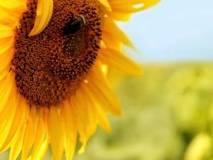 اهم فوائد بذور دوار الشمس المحمص