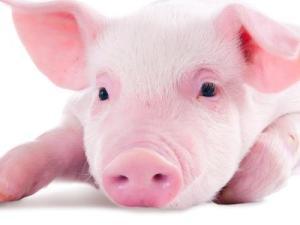 لماذا خلق الله الخنزير