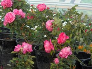 اختيار تربة زراعة الورد الجوري