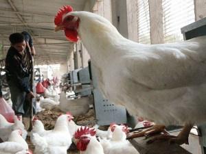 حقيقة انتشار انفلونزا الطيور في السعودية 2020