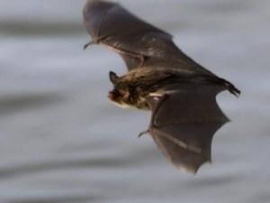 هل طائر الخفاش يلد ام يبيض